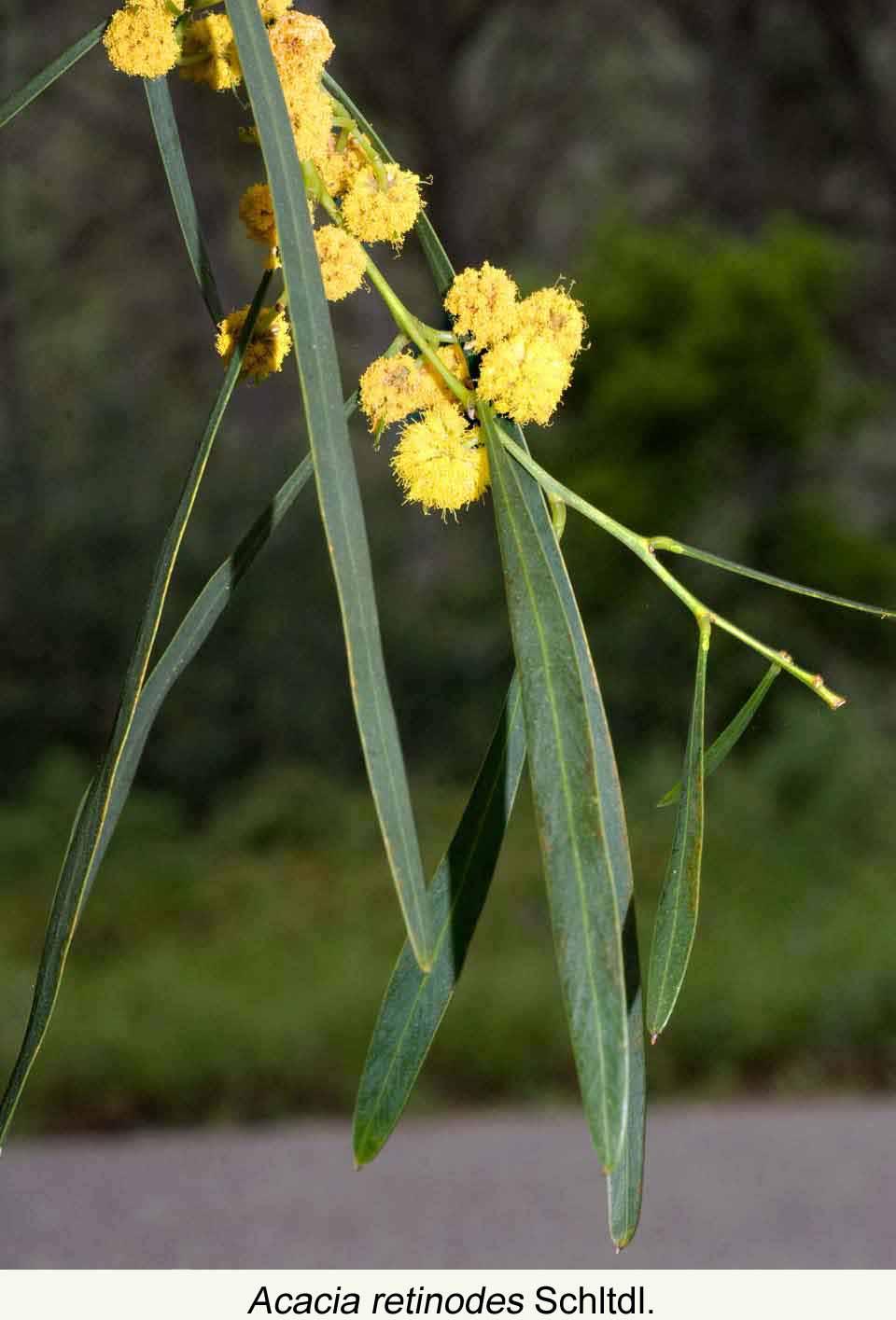 Acacia Arbolapp