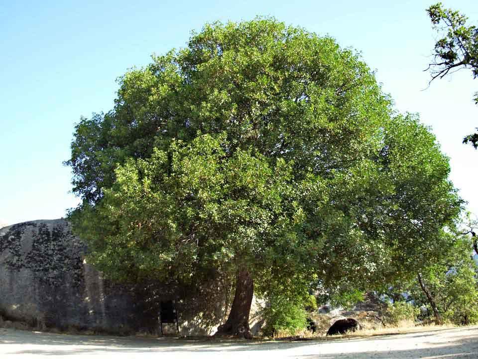 Acer Monspessulanum Arbolapp