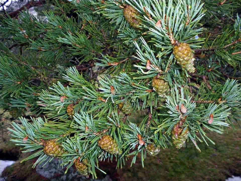 Pinus sylvestris - Arbolapp