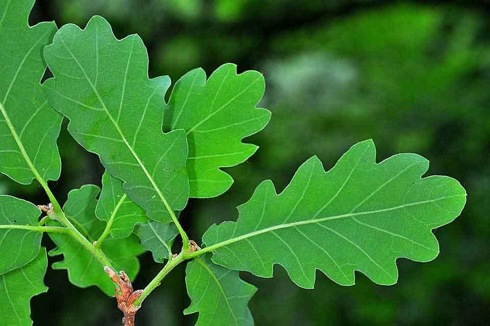 Quercus petraea arbolapp - Fotos del roble ...